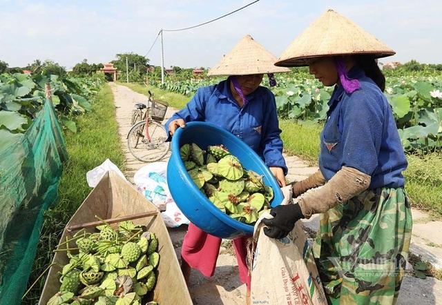 Nông dân kể chuyện: Hai tháng dầm mình dưới bùn, đút túi tiền tỷ - 12