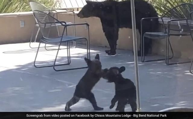 Video hai anh em gấu đen vật nhau khiến triệu người thích thú - 1