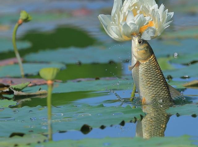 Cá lao lên mặt nước đớp trụi bông hoa sen - 3