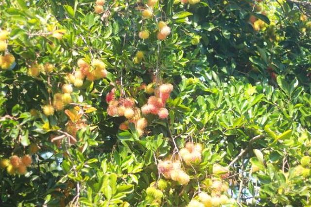 Gia Lai: Về miệt vườn xem cây ra quả thu trăm triệu đồng mỗi năm - 1