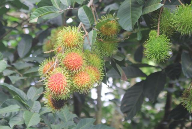 Gia Lai: Về miệt vườn xem cây ra quả thu trăm triệu đồng mỗi năm - 2