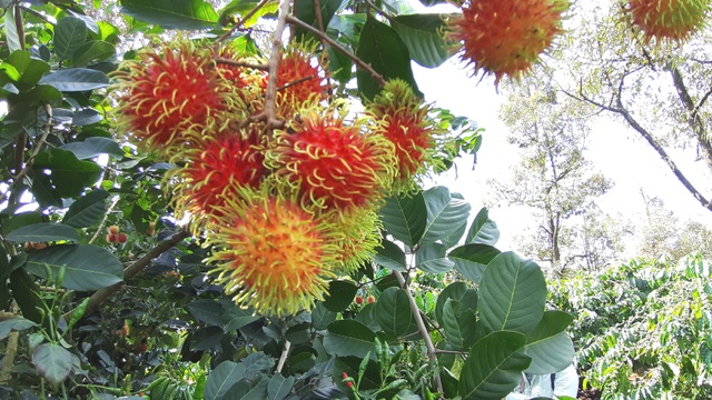 Gia Lai: Về miệt vườn xem cây ra quả thu trăm triệu đồng mỗi năm - 8