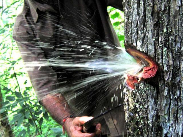 Nước từ thân cây bắn ra xối xả như mở vòi phun - 1
