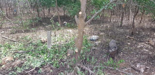 Chặn đứng việc tự ý chặt rừng ngăn mặn để san mặt bằng tại Quảng Trị - 4