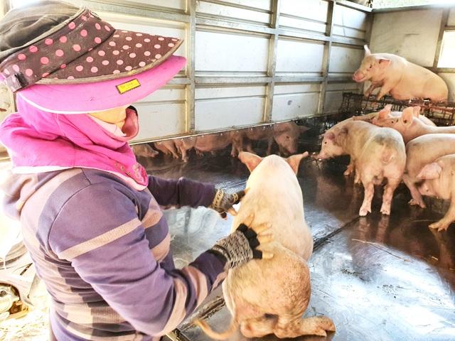 """Ở Quảng Nam có nghề đặc biệt: Phụ nữ """"bồng heo"""" - 6"""