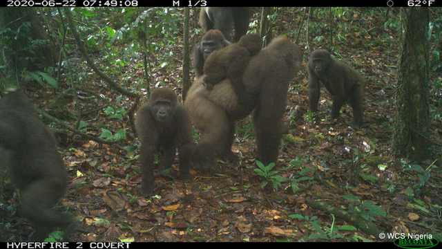 Hình ảnh loài khỉ đột hiếm có nhất thế giới địu con trên lưng - 1