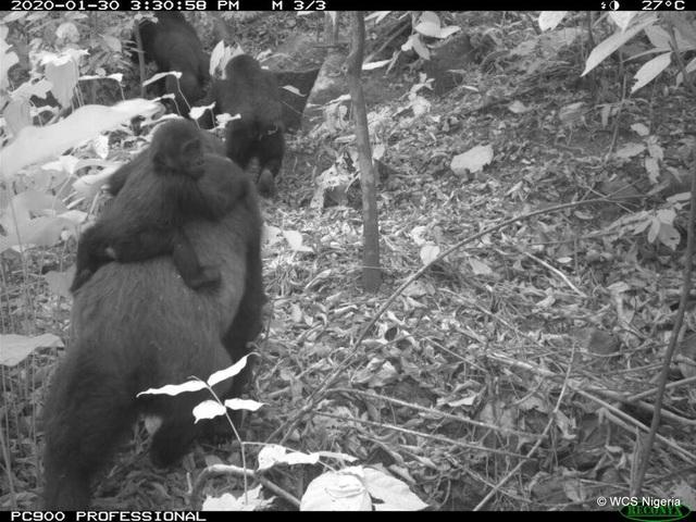 Hình ảnh loài khỉ đột hiếm có nhất thế giới địu con trên lưng - 3