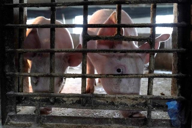Nguy cơ dịch tả lợn tái bùng phát do lũ lụt nghiêm trọng ở Trung Quốc - 1