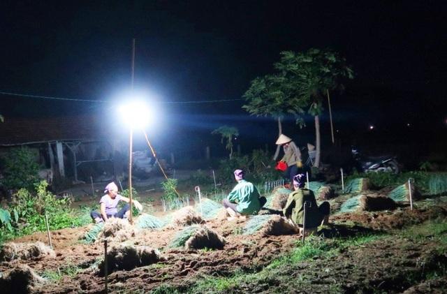 """Nghệ An: Nắng nóng đỉnh điểm,  nông dân """"chong đèn"""" nhổ hành xuyên đêm - 1"""