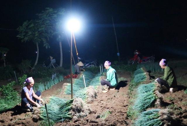 """Nghệ An: Nắng nóng đỉnh điểm,  nông dân """"chong đèn"""" nhổ hành xuyên đêm - 2"""