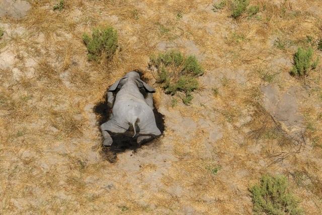 Hơn 350 con voi chết hàng loạt ở Botswana có thể do virus mới, lo ngại lây sang người - 1