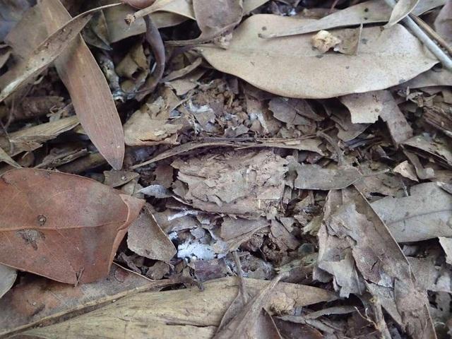 Nhóm nhện cửa sập - bậc thầy ngụy trang được tìm thấy ở Úc - 2