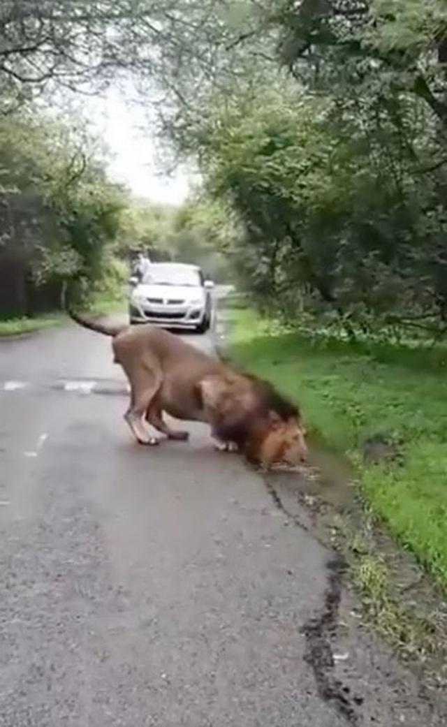 Sư tử uống nước bên đường khiến ô tô phải dừng lại chờ đợi - 1