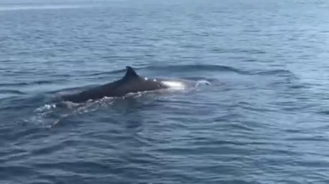 Cá voi khủng xuất hiện ở vùng biển Cù Lao Chàm - 1