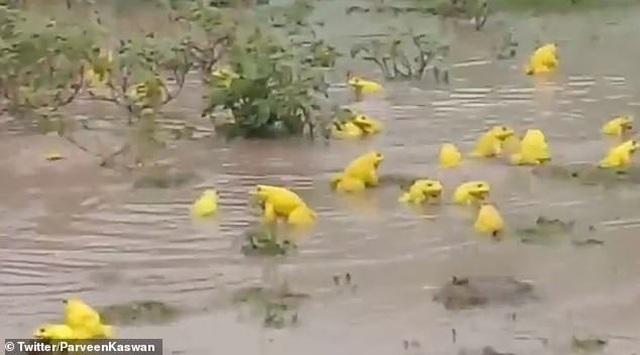 """Kỳ lạ """"đội quân"""" ếch vàng nhảy múa giữa đồng - 1"""
