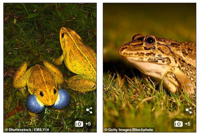 """Kỳ lạ """"đội quân"""" ếch vàng nhảy múa giữa đồng - 2"""