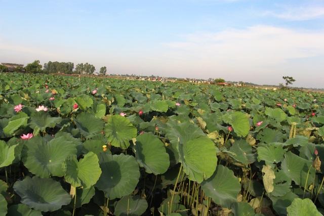 Nông dân thắng lớn, thu cả trăm triệu đồng nhờ trồng sen lấy hạt - 1