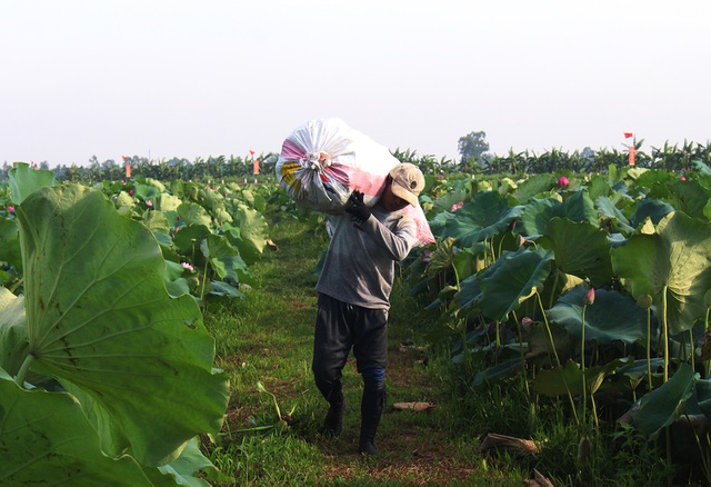 Nông dân thắng lớn, thu cả trăm triệu đồng nhờ trồng sen lấy hạt - 9