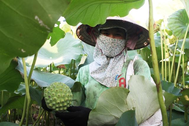 Nông dân thắng lớn, thu cả trăm triệu đồng nhờ trồng sen lấy hạt - 3