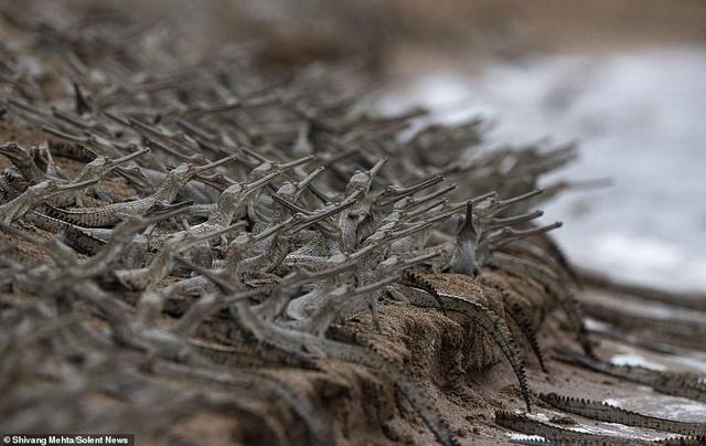 """Ngộ nghĩnh hàng trăm con cá sấu con """"xếp hàng vượt sông - 1"""
