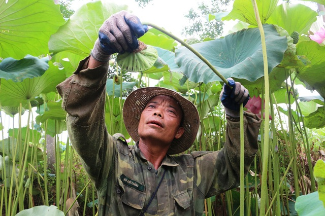 Bỏ cấy lúa sang trồng sen, người dân thu lãi cả trăm triệu đồng - 4