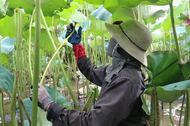 Bỏ cấy lúa sang trồng sen, người dân thu lãi cả trăm triệu đồng - 2