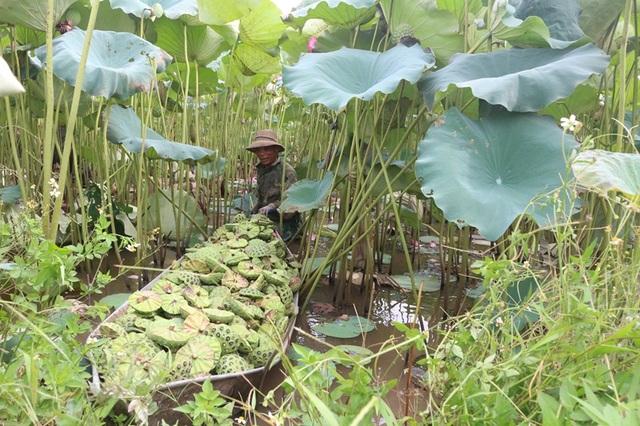 Bỏ cấy lúa sang trồng sen, người dân thu lãi cả trăm triệu đồng - 5