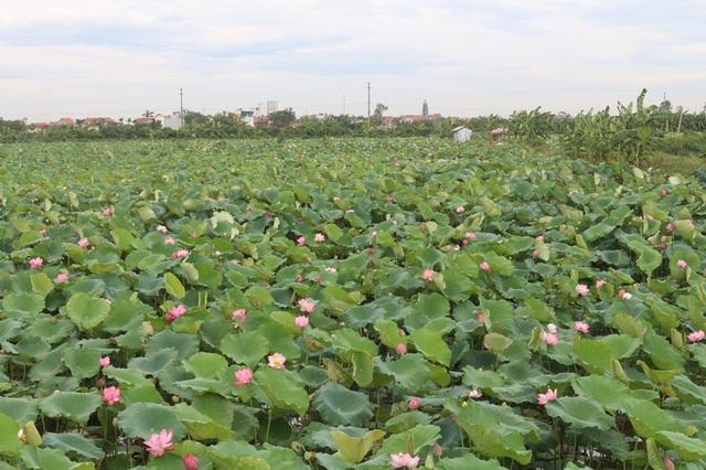 Bỏ cấy lúa sang trồng sen, người dân thu lãi cả trăm triệu đồng - 1