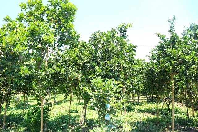 Quảng Nam: Vươn lên thoát nghèo nhờ Tổ hợp tác trồng cây ăn quả - 2