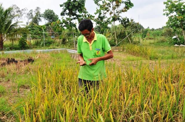 """""""Nhà khoa học"""" trình độ lớp 6 nhai đất, lai tạo thành công hơn 50 giống lúa - 4"""
