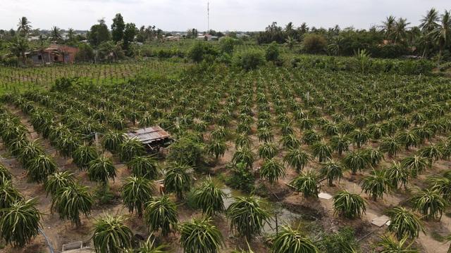 Long An: Thương binh trồng thanh long thu hàng trăm triệu mỗi năm - 6
