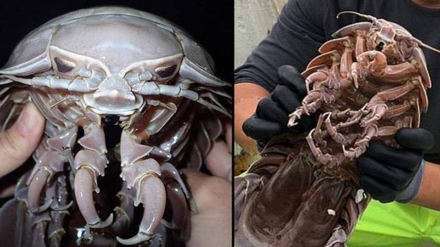 Loài gián biển khổng lồ ở Indonesia - 1