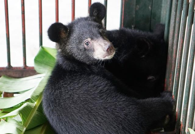 Giải cứu 2 cá thể gấu ngựa con bị buôn bán trái phép - 2
