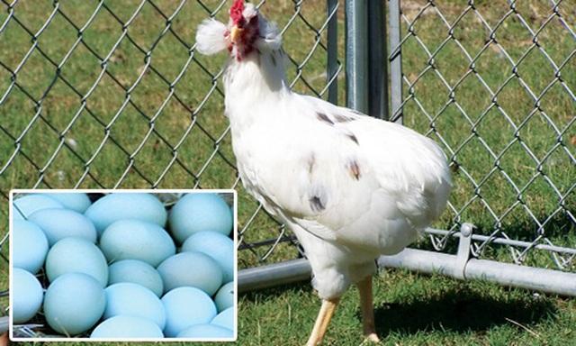 Bí ẩn về loài gà lạ dáng đẹp, không đuôi, lại đẻ sòn sòn ra trứng màu tới 240 quả/năm - 6