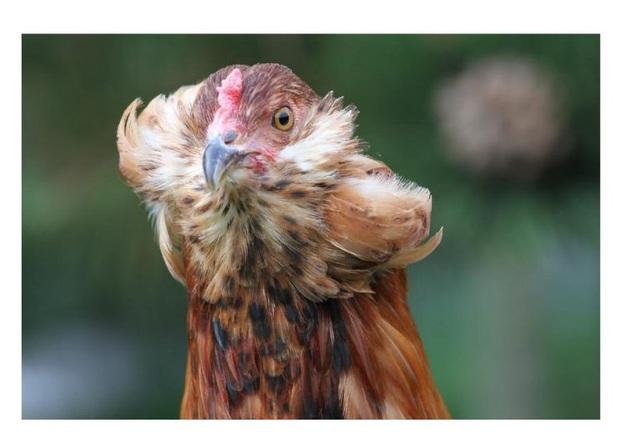 Bí ẩn về loài gà lạ dáng đẹp, không đuôi, lại đẻ sòn sòn ra trứng màu tới 240 quả/năm - 9