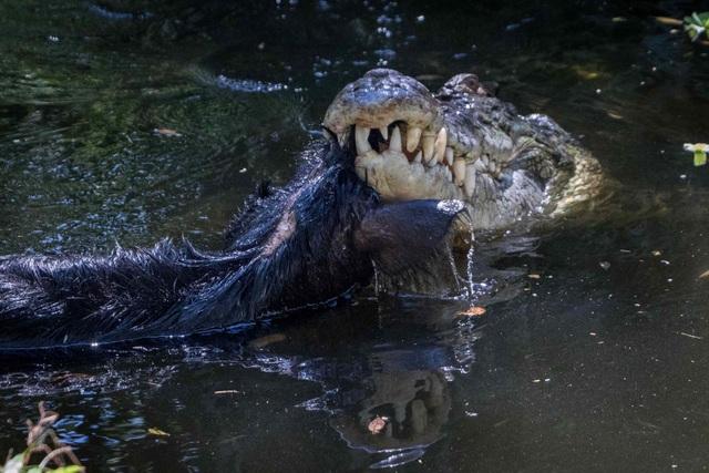 """Ngoạn mục cảnh cá sấu """"xử lý lợn rừng như xiếc - 2"""
