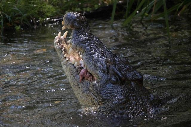 """Ngoạn mục cảnh cá sấu """"xử lý lợn rừng như xiếc - 5"""
