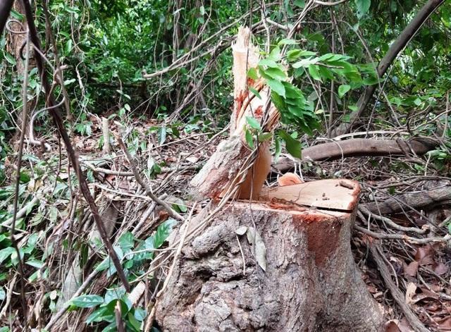 Rừng bị tàn phá nghiêm trọng, địa phương không hay biết? - 5