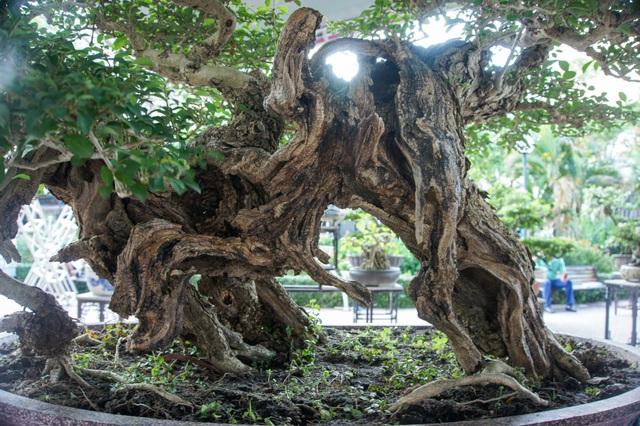 Mãn nhãn với cây găng tu hú, gỗ lũa tự thân hàng trăm năm tuổi - 9