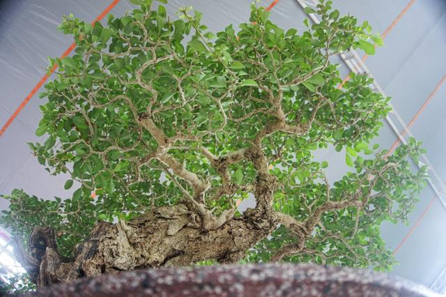 Mãn nhãn với cây găng tu hú, gỗ lũa tự thân hàng trăm năm tuổi - 10