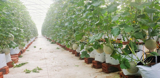 Hà Tĩnh: Thanh niên 8X bỏ túi nửa tỷ đồng một năm từ nghề trồng dưa - 3