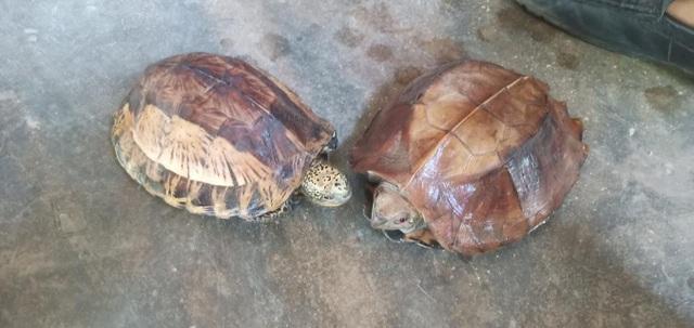 Mua lại rùa quý hiếm rồi bàn giao cơ quan chức năng để thả về tự nhiên - 1
