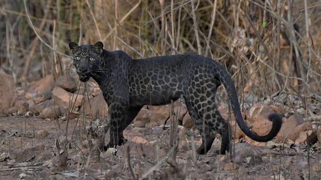 Báo đốm đen cực hiếm tái xuất ở Ấn Độ - 1