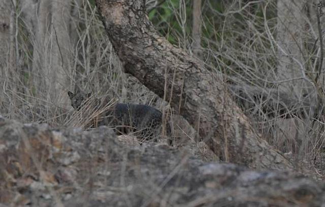 Báo đốm đen cực hiếm tái xuất ở Ấn Độ - 2