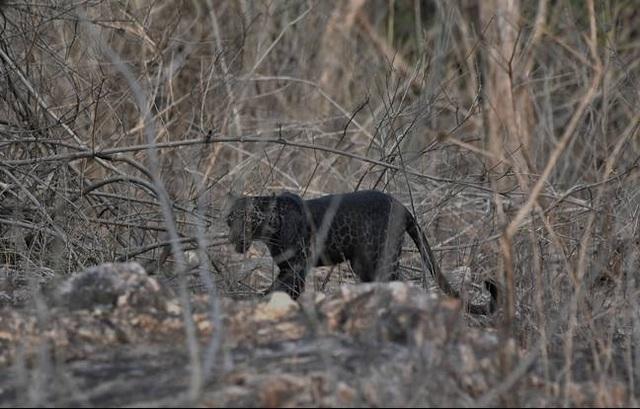 Báo đốm đen cực hiếm tái xuất ở Ấn Độ - 3