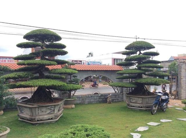 Vườn tùng bạc tỷ rộng 1500m2 trong khuôn viên biệt thự ở Buôn Mê Thuột - 3