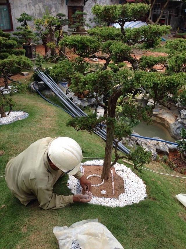 Vườn tùng bạc tỷ rộng 1500m2 trong khuôn viên biệt thự ở Buôn Mê Thuột - 4