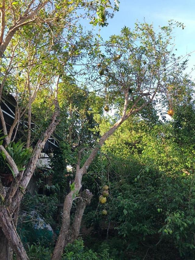 Vườn tùng bạc tỷ rộng 1500m2 trong khuôn viên biệt thự ở Buôn Mê Thuột - 5
