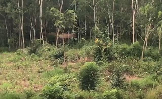 Voi rừng liên tục xuất hiện, dọa tấn công người dân - 1