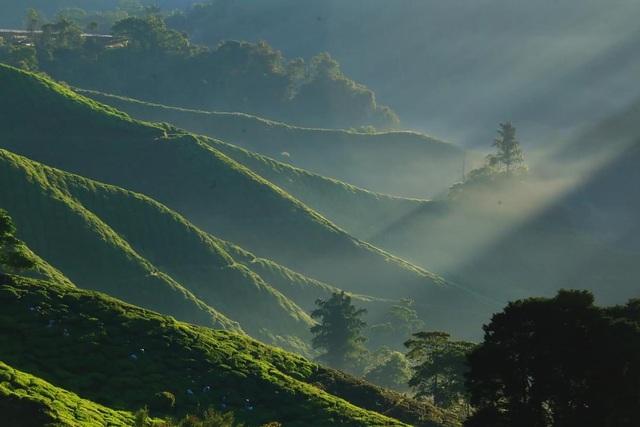 Vẻ đẹp mê hoặc của đồi chè Long Cốc, Phú Thọ: Nơi trốn dịch lý tưởng - 6
